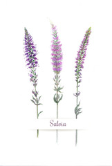 Watercolor sprigs of violet field salvia