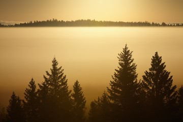 Trees in morning fog. Silhouettes of big trees in golden morning light.