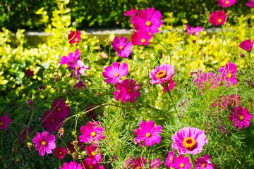 Cosmea (Cosmos bipinnatus) in pink vor einer Buchsbaumhecke im Vorgarten