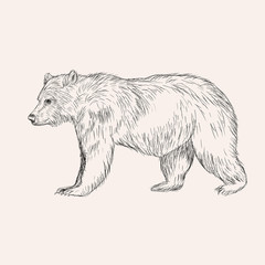 Sketch bear. Hand drawn vector illustration isolated. Engraving