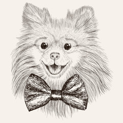 Sketch Spitz with bow tie. Hand drawn dog illustration.