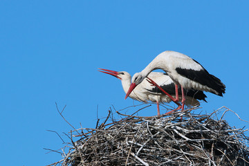 Male and female storks in the nest on blue sky background