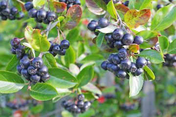 Aronia berries on a bush . Life in the village.