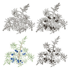 Vector set of juniper. Hand drawn illustration, isolated element