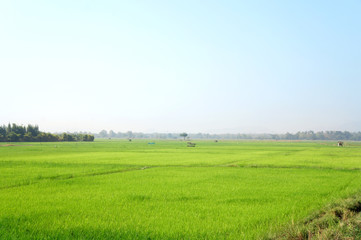 Paddy rice field background