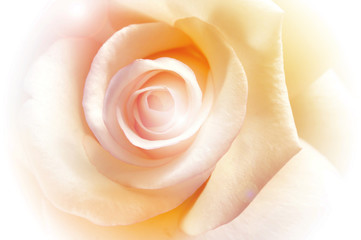 vivid color rose, soft background