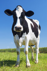 Portrait of cow on green grass