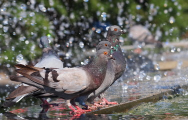 pigeon drinking water on fountain