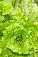 fresh lettuce leaves after rain