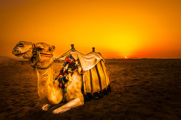 Photo sur Plexiglas Chameau Camel in front of sunset in Hurghada/Makadi Bay, Egypt