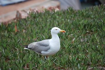 Uma gaivota de Berlenga