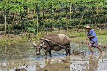 Traditional Chinese framer using an ox to plow a field for planting rice