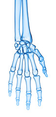 accurate medical illustration of the hand.