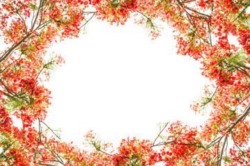 Flam-boyant flower as frame border and copy space for text back