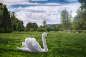 A stray swan