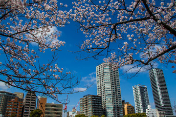 Sakura in city