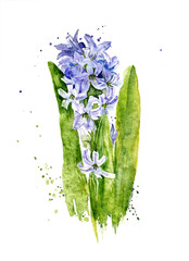 watercolor hyacinth