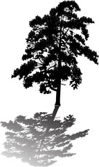 single black pine large silhouette with shadow