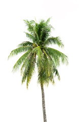 New coconut tree isolate on white