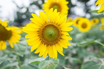 sunflowers in the green garden