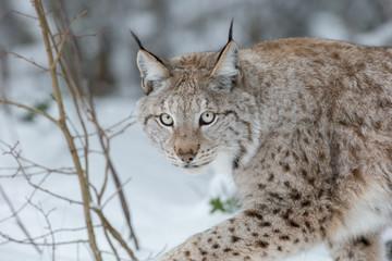 Aluminium Prints Lynx Lynx Wild Cat