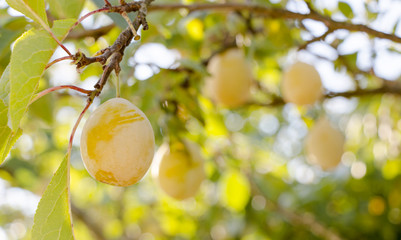 Yellow plums on the tree