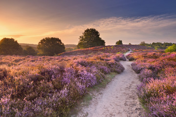 Path through blooming heather at sunrise in The Netherlands. Wall mural