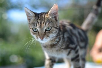 Portrait of leopard print cat in nature