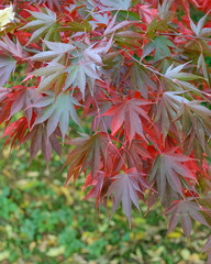 Colorful Autumn Maple Leafs on the Tree