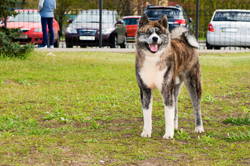 American Akita stands. The American Akita is in the park.