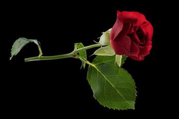 Rose auf schwarz freigestellt