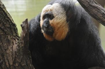 Colobus monkey in tree