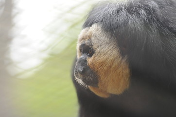 Colobus Monkey looking off to side