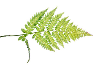 green spotted isolated fern leaves