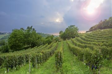Monferrato, Barbera vineyards backlight panorama. Color image