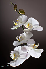 White Orchid, Phalaenopsis