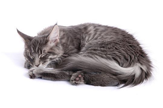 Chaton Maine Coon endormi
