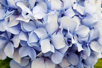 Close up photo of purple  hydrangea