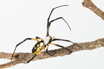 Close up of Argiope garden spider as spins web on dead twig