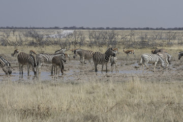 Grazing springbok and zebra share watering hold in Etosha National Park, Namibia, Africa.
