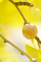 イチョウの黄葉と実