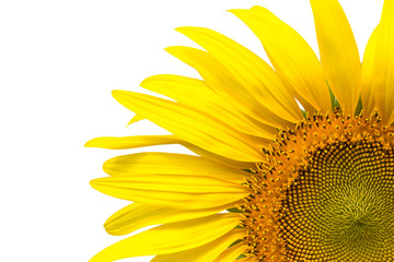 Closeup yellow sunflower isolated on write background