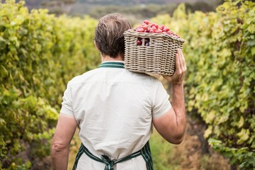 Rear view of a winegrower holding a basket of grapes
