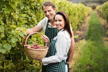 Smiling winegrower couple picking grapes