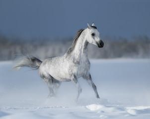 Grey arabian horse gallops on snow field