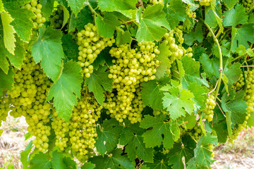 Wine grapes in Charente Maritime, France