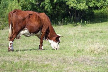 vache qui broute dans le pré