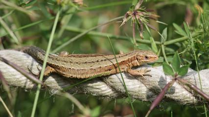 Common Lizard (zootoca vivipara) basking or sunbathing on a rope