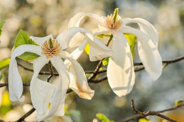 Some magnolia flowers