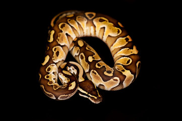 Ball Python isolated on black